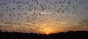 Mexican free-tailed bats emerging from the natural entrance and flying to the nearest water