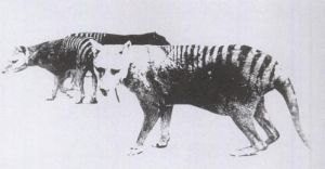 One of only two known photos of a thylacine with a distended pouch, bearing young. Adelaide Zoo, 1889