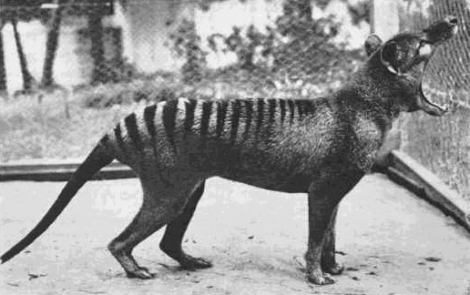 Benjamin, the last known thylacine photographed at Beaumaris Zoo in 1933.