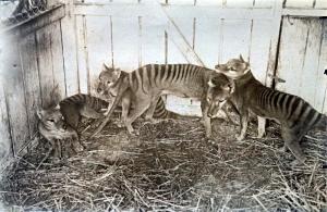 Thylacine family at Beaumaris Zoo in Hobart, 1910