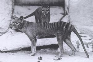 Thylacines in Washington D.C., 1906